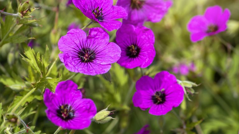 How to grow hardy geraniums: Geranium 'Ann Folkard'