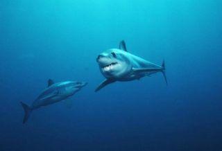 topp-mako-sharks-110622-02