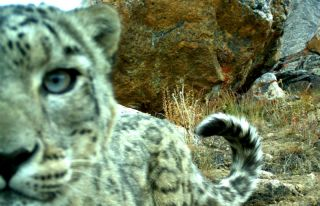 snow leopards, snow leopard photos, snow leopard camera traps, tajikistan wildlife, earth, stealing snow leopards, endangered species news, big cats