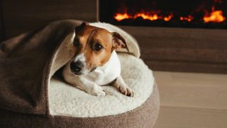 Why do dogs scratch their bed? Jack Russell dog in bed by the fire