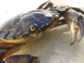 The invasive green crab, Carcinus maenas.