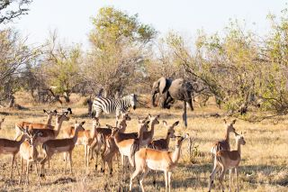 Elephants, zebras and impalas hanging around a waterhole in Africa.