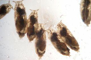 Wasp-infected fruit flies