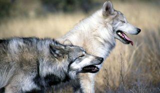 wolf-dog-02