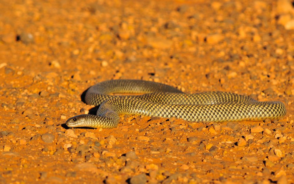 Facts About Brown Snakes   Live Science