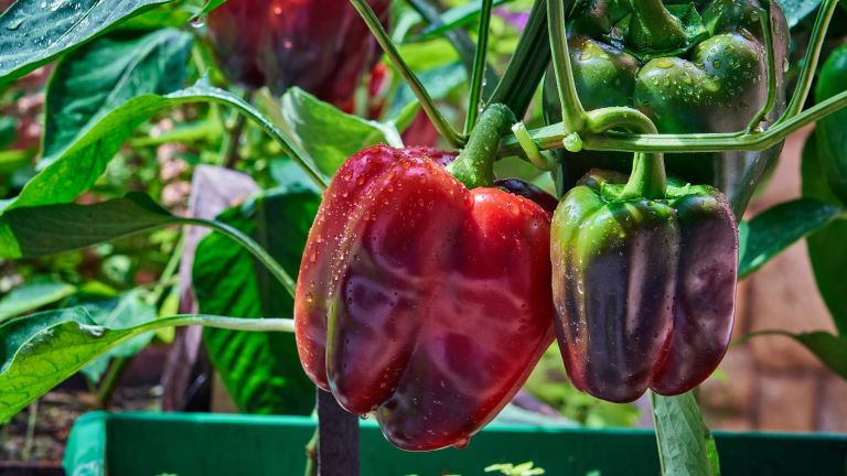 companion plants for peppers growing in greenhouse