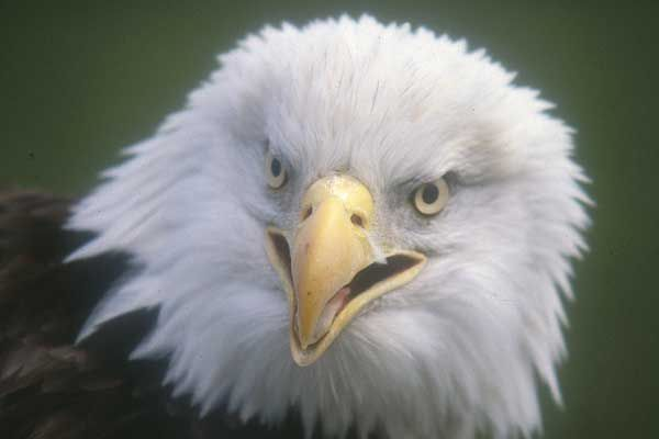 Why Is the Bald Eagle America's National Bird? | Live Science