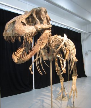 This nearly complete <em>Tyrannosaurus bataar</em> is set to go on auction. It is one of many rare natural history specimens Heritage Auctions plans to sell on May 20. An Asian relative of the North American <em>Tyrannosaurus rex</em>, this specimen's est