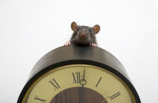 mouse, clock, rat