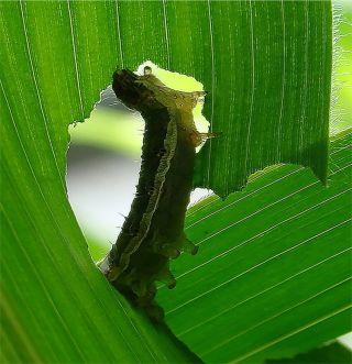 Leaf-Eating Caterpillar