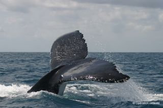 humpback whales, fluking up, diving