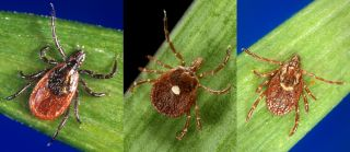 The blacklegged tick (Ixodes scapularis), lone star tick (Amblyomma americanum), and American dog tick (Dermacentor variabilis) all found themselves damaged by permethrin in clothes.