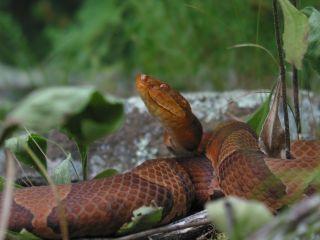 A copperhead snake experienced a virgin birth.