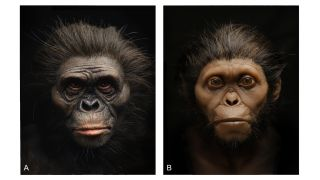 The new facial reconstructions, made from pigmented silicon casts, of Lucy (left) and the Taung child (right).