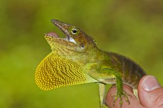 An adult male anole lizard (Anolis garmani) from Annotto Bay, Jamaica, that lives in the tops of trees. It is very similar to other lizards on nearby islands thanks to convergent evolution.