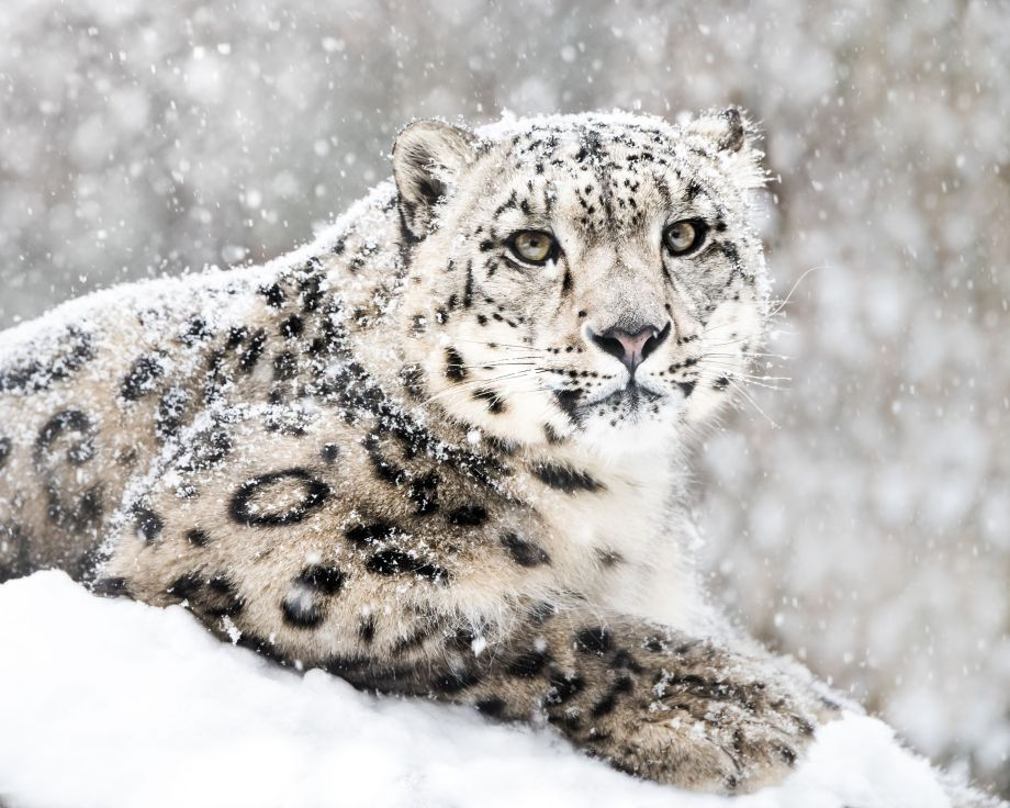 A snow leopard in the snow