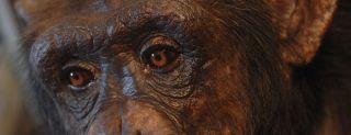 chimpanzee, intelligence, virtual reaity, video games