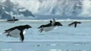 Flying penguins supposedly discovered on an island near Antarctica. Credit: BBC