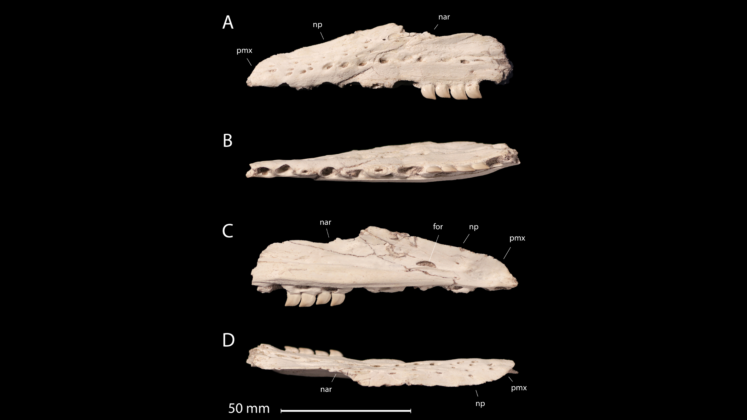 Different views of the mosasaur's jaw.