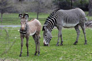 zebra-foal-jlarsen-110504-02