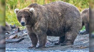 """Grazer (""""Bear 128""""), with medium blonde coat and light fluffy ears, stands at the edge of the water with tall grass behind her."""