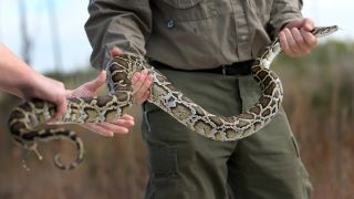 Wildlife biologist Jenny Ketterlin Eckles and wildlife technician Edward Mercer, both with the Florida Fish and Wildlife Conservation Commission, hold a Burmese python during a press conference in the Florida Everglades about the non-native species on Jan. 29, 2015 in Miami, Florida.