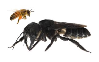 This Massive, Nightmare Bee Was Once Thought Extinct. Not Anymore. | Live Science