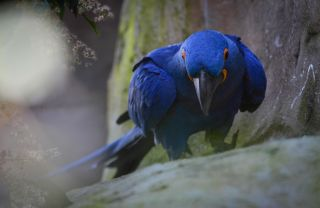 Hyacinth macaw James Bond is shaken and stirred by tragic events at Chester Zoo.