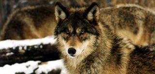 A gray wolf (Canis lupus). The eastern wolf, Canis lupus lycaon, qualifies as a separate species, according to a new review by the U.S. Fish and Wildlife Service.