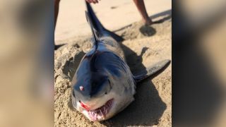 A juvenile shortfin mako shark with a stab wound in his head washed ashore in Los Cabos, Mexico.