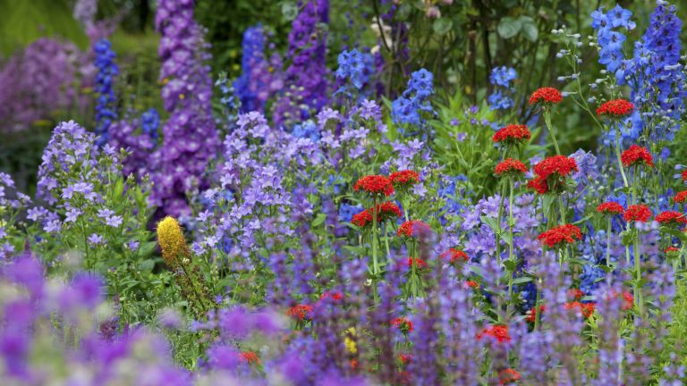 colourful flowers in a garden including red verbena and purple campanulas