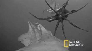 humboldt squid, jumbo squid, crittercam, squid-cam