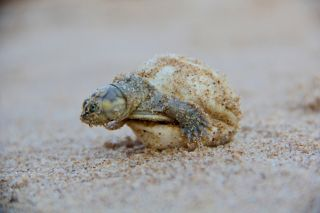 South American river turtle hatchling, conservation