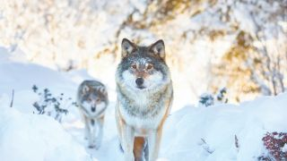 From wolf to dog: A wild wolf packs walks in the snow