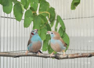 "A male red-cheeked cordon-bleu songbird performs his mating ""tap dance"" to court the gal next to him on their perch."