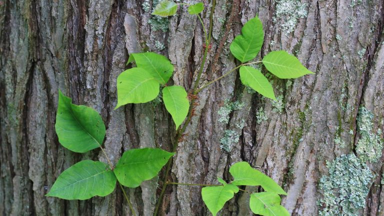 how to get rid of poison ivy: climber up tree