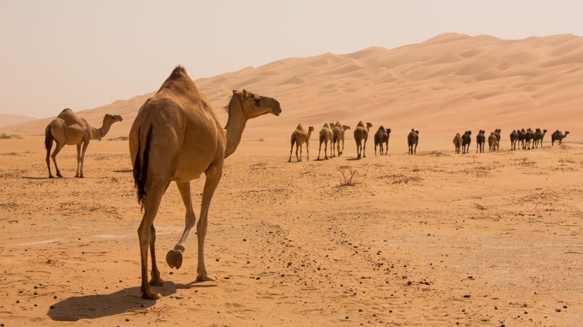 Do camels really have water in their humps?