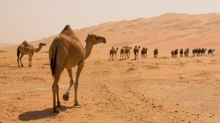 What's in these camels' humps?