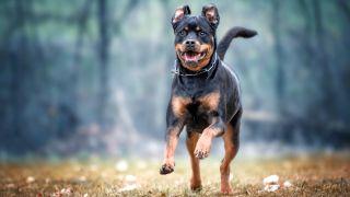 Rottweiler facts: Rottweiler dog running through the park