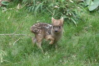 A tiny pudu deer.