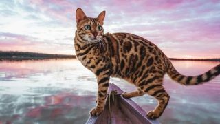 Puppy cat: Close up of Suki the Bengal cat on a boat in a lake