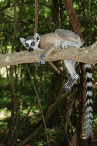 A ring-tailed lemur in a tree