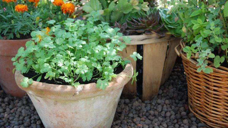 How to grow cilantro in pots