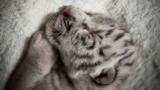 A sleeping white tiger cub