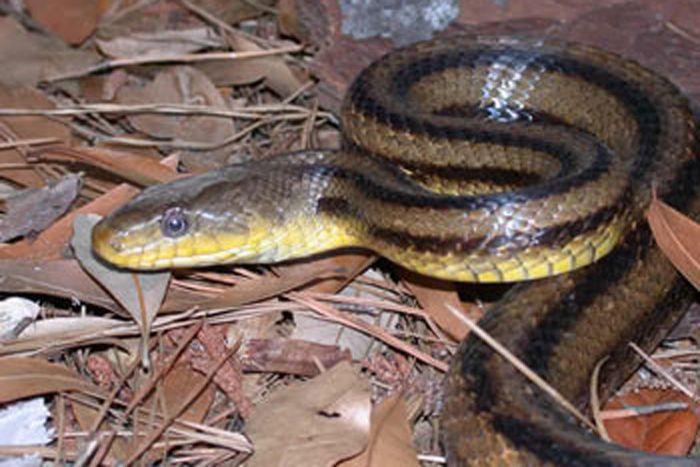 Rat Snake Facts | Live Science