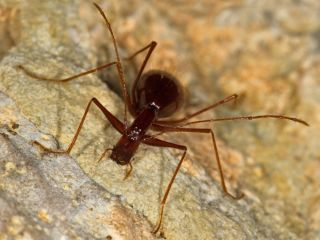 Cave Beetle