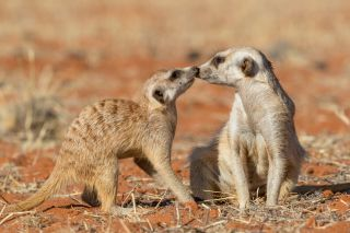 Meerkats Kissing