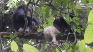 two infant chimps sit on a tree branch on either side of the body of an albino chimp