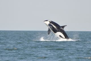orcas, orca facts, orca whales, killer whales, orca killer whales, orcinus orca, killer whale facts, killer whale pictures