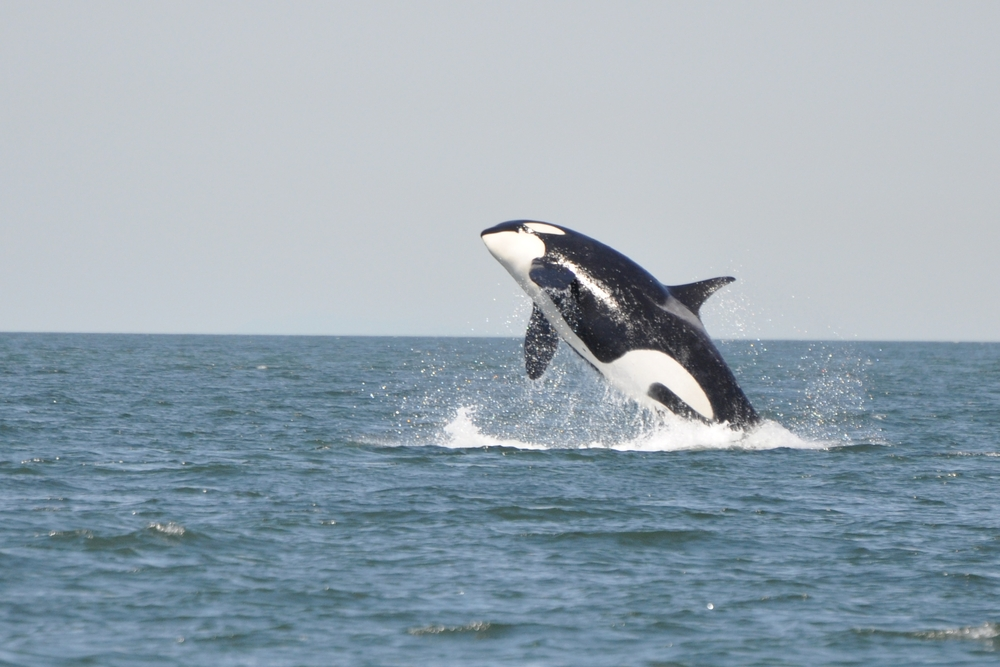 what does a killer whale diet